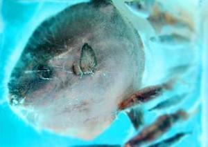 Рыба во льду. Замороженный аквариум